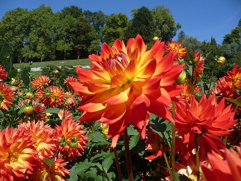 Bild Dahliengarten Baden Baden