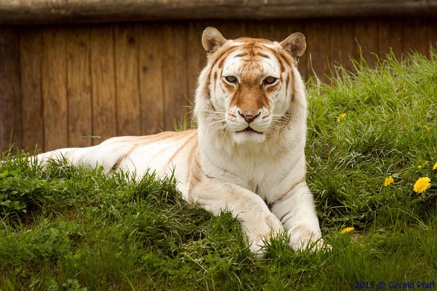 Bild Tigerpark Dassow
