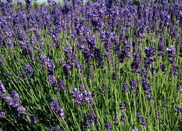 Bild Lavendel Labyrinth Kastellaun