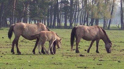 Bild Wildpferde in Dülmen