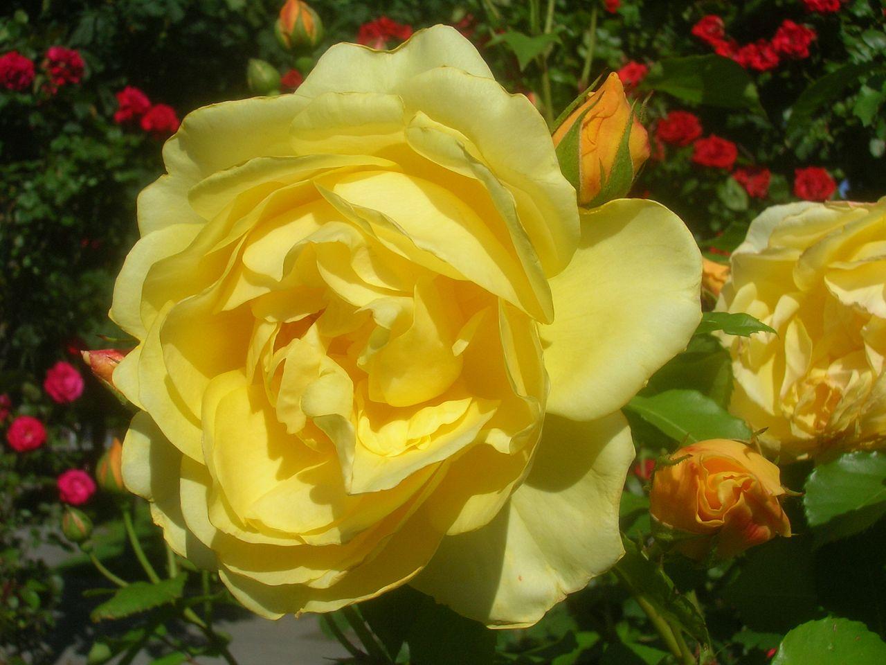 Bild Historische Rosengärten Hemmingen