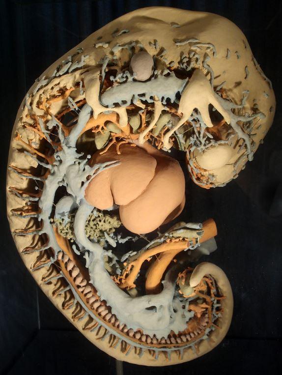 Bild Humanembryologische Sammlung Göttingen