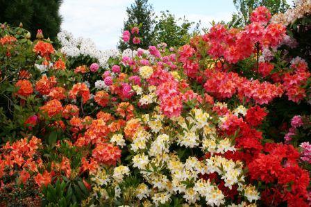 Bild Rhododendron Schaugarten der Baumschule Hachmann Barmstedt