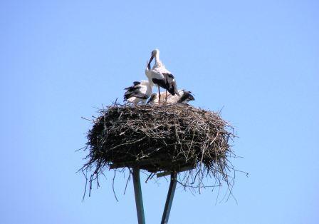 Bild Storchenbeobachtung Ankershagen