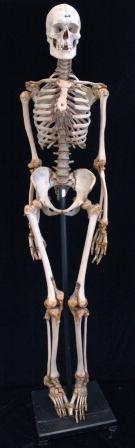 Bild Anatomische Sammlung Heidelberg