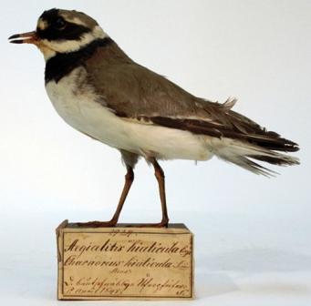 Bild Zoologisches Museum Greifswald