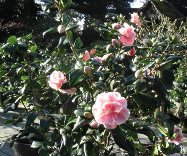 Bild Kameliengarten Solingen